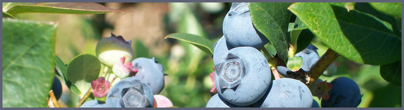 Beautiful Ripe Blueberries